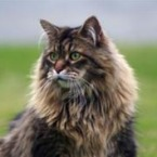 cold brown mackerel maine coon cat