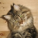 brown tabby female maine coon