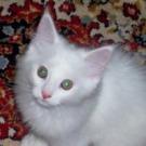 cute white maine coon kitten