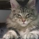 silver sleepy maine coon kitten