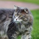 blue classic maine coon cat