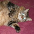 big maine coon cat