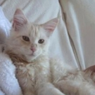 red silver blotched tabby and white maine coon kitten