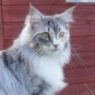 blue tortoiseshell tabby and white maine coon