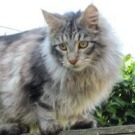 silver maine coon boy