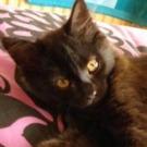 cute black maine coon kitten