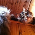tabby and white maine coon cat