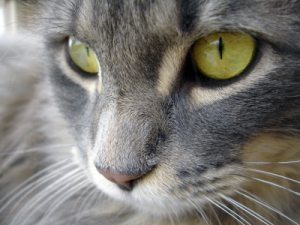 close-up of maine coon cat with green eyes