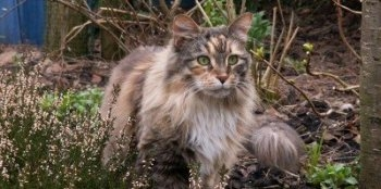 pretty torbie maine coon in a wooded scene