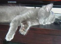 silver gray kitten