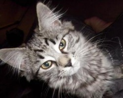cute fuzzy silver maine coon kitten