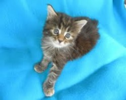 cute fuzzy maine coon kitten