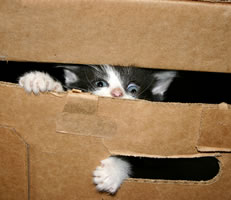 cute fuzzy kitten playing in a box