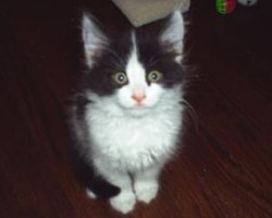 cute fuzzy black and white kitten