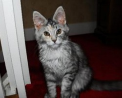 cute fuzzy kitten misty