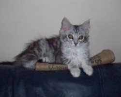 tiny silver maine coon kitten