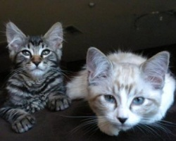 two sweet maine coon kittens
