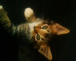 fuzzy maine coon kitten