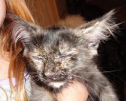 rescued maine coon kitten