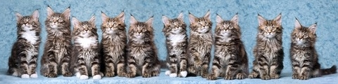 cute maine coon kittens in a row