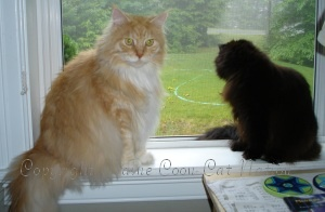 very big maine coon cat with small cat
