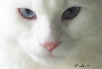 Feather is a White Maine Coon with blue eyes