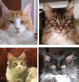 february maine coon cat pictures
