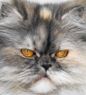 close up of female persian cat