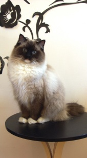 beautiful pointed female ragdoll cat