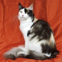well groomed maine coon cat on red background