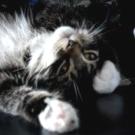 fluffy maine coon kitten
