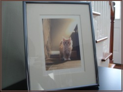 framed maine coon cat photograph
