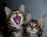 two cute fluffy kittens, one yawning