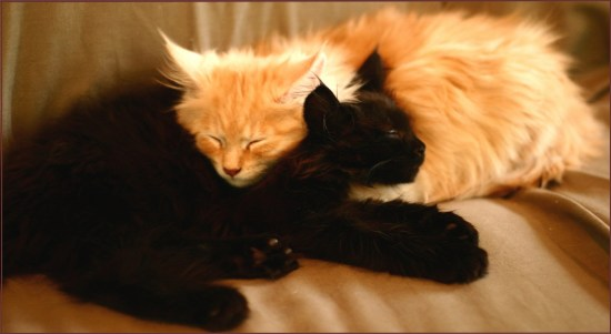 gorgeous maine coon kittens sleeping together