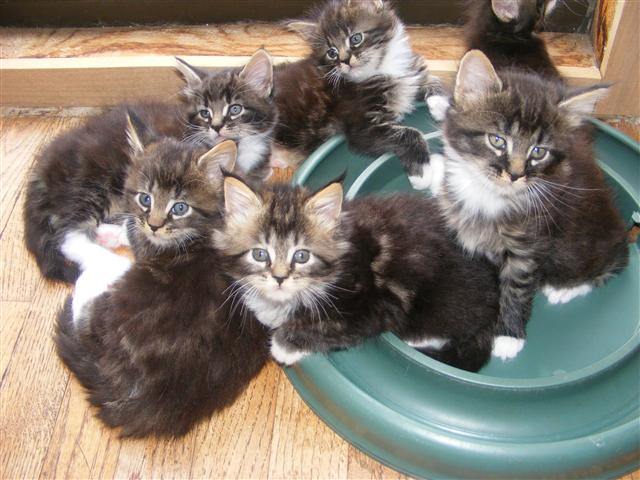 Maine Coon Cat Breeders in