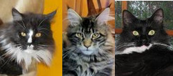 july maine coon cat pictures