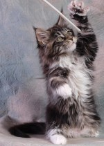 maine coon kitten playing with cat toy