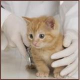 Kitten Getting Vet Exam