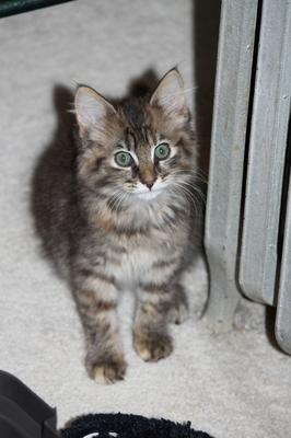 Maine coon kittens in malaysia