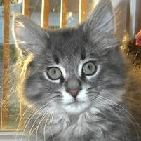 Welcome To Maine Coon Cat Nation