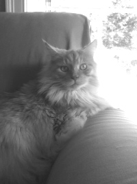 maine coon cat in the sun