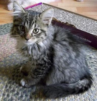 Dark Grey Maine Coon Kittens Levon