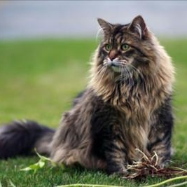 maine-coon-brown-mackerel.jpg (267×267)