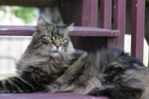 big brown maine coon cat