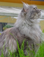 blue silver colored maine coon cat
