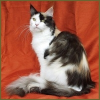 rise of the maine coon cat breed