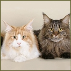 maine coon cat colors