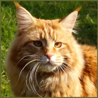 maine coon cat traits