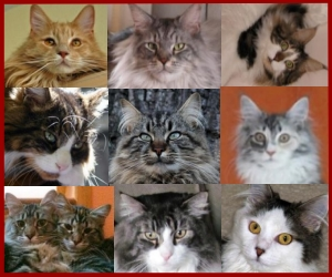 big maine coon cats
