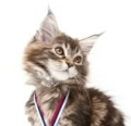 young tabby maine coon kitten with medal